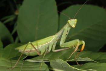 mantis-religiosa-espacepourlavie-ca