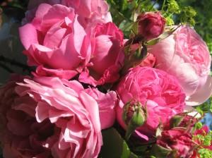 roses - Florence Petit-Bateau copyright pour le jardin de Joéliah.